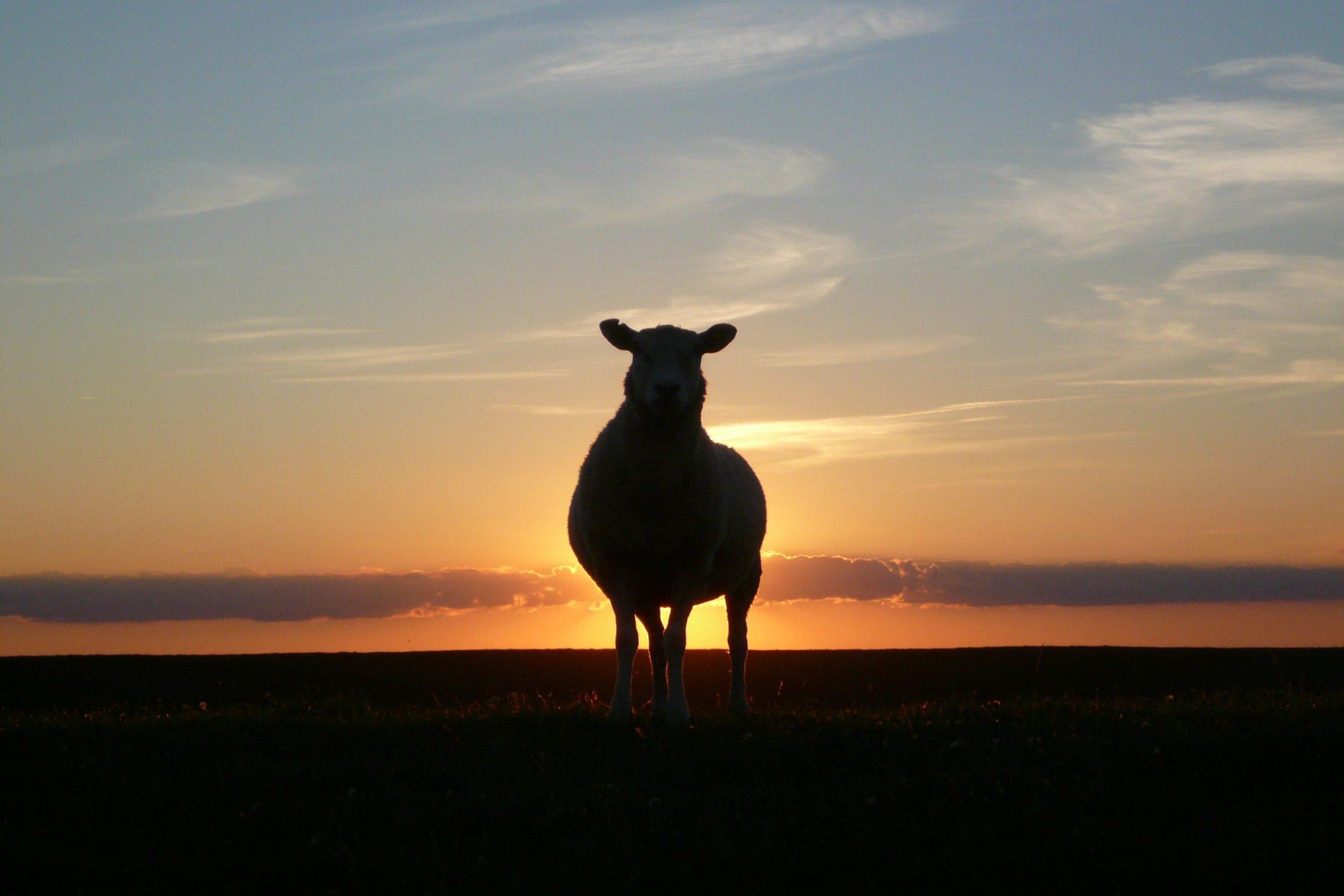 Een schaap in de zonsondergang op de dijk bij Stavoren