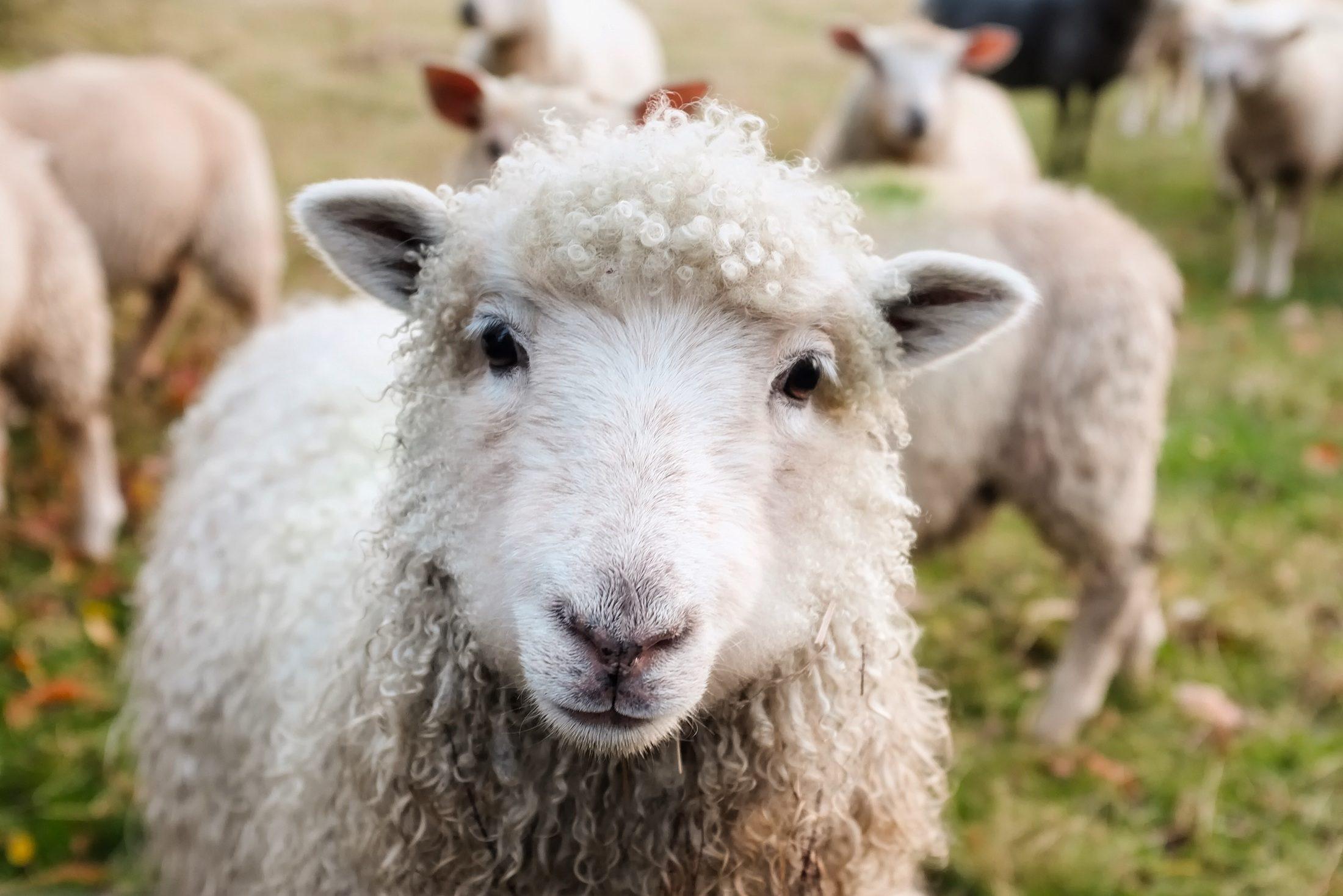 Meerdere schapen op de dijk bij Stavoren